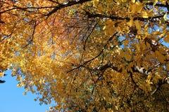 Goldener Herbst-Ahornholz-Baum und Sonnendurchbruch stockfoto