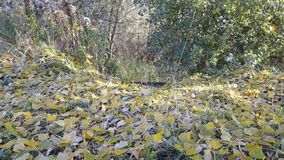 Goldener Herbst Der Blattfall von den Bäumen stock video