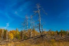 Goldener Herbst in Ukraine Tote Bäume Stockfotografie