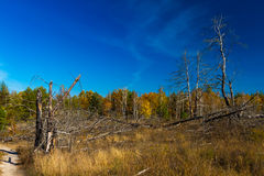 Goldener Herbst in Ukraine Tote Bäume Lizenzfreies Stockbild