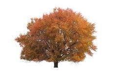 Goldener Herbstbaum auf lokalisiertem weißem Hintergrund Stockbild