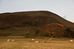 Goldener Herbstbaum gegen großen Hügel mit den weiden lassenden Schafen Stockfotografie