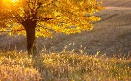 Goldener Herbstfarbenbaum Stockfotografie