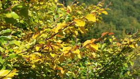 Goldener Herbstlaub, der auf den Wind wellenartig bewegt stock video footage
