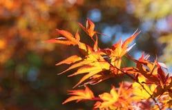 Goldener Herbstlaub, indischer Sommer Stockbild