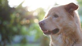 Goldener Hund lizenzfreies stockfoto