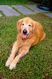 Goldener Hund lizenzfreie stockbilder
