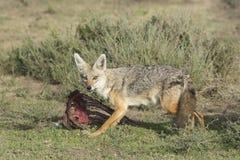 Goldener Jackal (Canis goldfarbig), Tanzaniafütterung Stockbilder