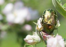 Goldener Käfer Stockfoto