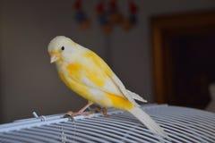 Goldener Kanarienvogel stockbilder
