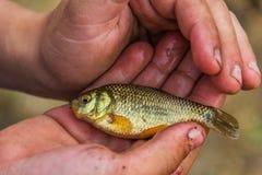 Goldener Karpfen in den Händen eines Kindes Stockfotos