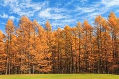 Goldener Kieferwald in der Herbstsaison, Nikko, Japan Stockbilder