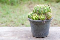 Goldener Kugel-Kaktus lizenzfreie stockbilder