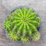 Goldener Kugel-Kaktus stockfotos