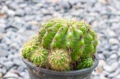 Goldener Kugel-Kaktus lizenzfreie stockfotos
