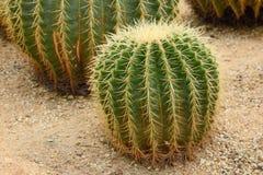 Goldener Kugel-Kaktus Lizenzfreie Stockfotografie