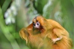 Goldener Löwe Tamarin lizenzfreie stockbilder