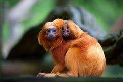 Goldener Löwe Tamarin mit Schätzchen lizenzfreie stockfotografie