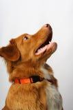 Goldener Labrador-Hund Lizenzfreie Stockfotos