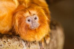 Goldener Lion Tamarin Stockbild