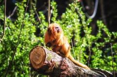 Goldener Lion Tamarin (Leontopithecus-rosalia) Stockfotografie