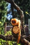 Goldener Lion Tamarin (Leontopithecus-rosalia) Lizenzfreies Stockfoto