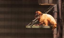 Goldener Lion Tamarin Leontopithecus-rosalia Affe Stockbilder