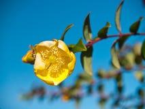Goldener Lotos (Hypericum hookerianum) Lizenzfreies Stockfoto