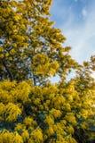 Goldener Mimosen-Baum stockbild