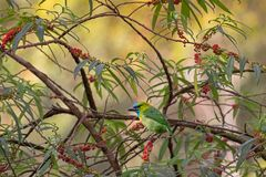 Goldener-naped Barbetvogel im grünen Azurblau hockend auf Orange stockfoto