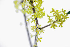 Goldener Osmanthus Chinas Stockbild