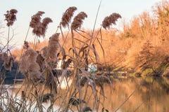 Goldener Phragmites nahe bei dem Fluss Lizenzfreies Stockfoto