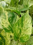 Goldener Pothos Stockfoto
