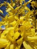 Goldener Regen Stockfotografie