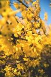 Goldener Regen, ZlatÃ-½ d銡 Å¥ Lizenzfreie Stockfotografie