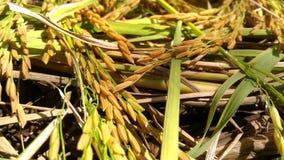 Goldener Reis Stockbild