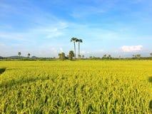 Goldener Reis Lizenzfreie Stockbilder