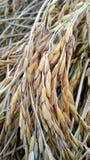 Goldener Reis Stockfotos