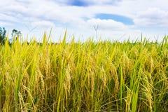 Goldener Reis archiviert mit blauem Himmel Stockfotos
