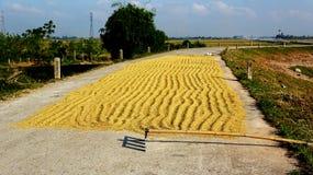 Goldener Reis in der Ernte stockfotografie