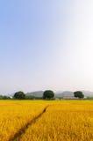 Goldener Reis hat drei Bäume Lizenzfreie Stockbilder