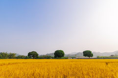 Goldener Reis hat drei Bäume Lizenzfreies Stockfoto