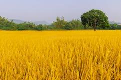Goldener Reis hat drei Bäume Lizenzfreie Stockfotos