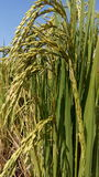 Goldener Reis und das Grün in Chiang Mai Lizenzfreie Stockbilder