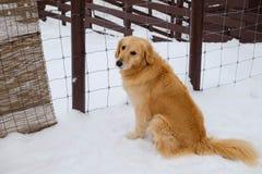 Goldener retriver Hund auf Schnee Lizenzfreie Stockfotos