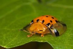Goldener Schildkrötenkäfer Stockfotos