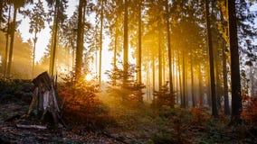 Goldener Sonnenaufgang im Wald lizenzfreie stockfotos