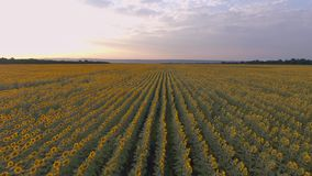 Goldener Sonnenuntergang über einem Feld von Sonnenblumen landwirtschaft stock footage