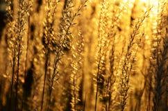Goldener Sonnenuntergang durch Unkräuter lizenzfreies stockfoto