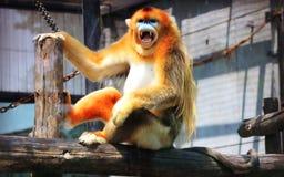 Goldener stupsnasiger Affe Stockfotografie